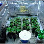 7- Día 32 a 42: Despacio pero seguro con estas variedades de marihuana