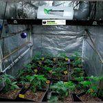 """8-Día """"D"""" hora """"cero"""": Comienza floración cultivo marihuana femicopia"""