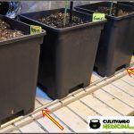 9- Floración y preflores: 7 días a 12/12 en el cultivo femicopia