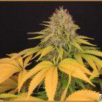 12- Resultado final del cultivo de marihuana femicopias los cruces del 13