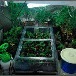 Lampara CFL Solux – luz fluorescente adaptada a cultivos de marihuana de interior
