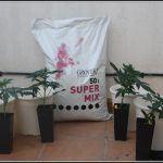 4- Las plantas de marihuana automáticas ya están en terraza exterior