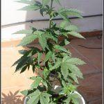 5- Las plantas de marihuana llevan 17 días en terraza, hablemos de nutrición