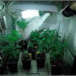 Cómo actuar con plantas madre de marihuana – Conservación y selección