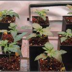 2- Ahora si que crecen las plantas de marihuana automáticas