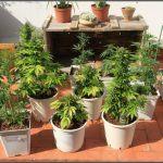 6-Ya llevamos 35 días de floración del cultivo con abonos Grotek