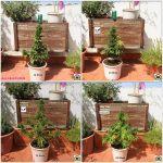 8- Y con 72 días de vida se cosecha el cultivo de marihuana automáticas