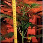 3- Y con 19 días de vida, las plantas de marihuana se van para exterior