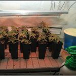 3- Actualización del cultivo de marihuana: De 120W pasan a 180W