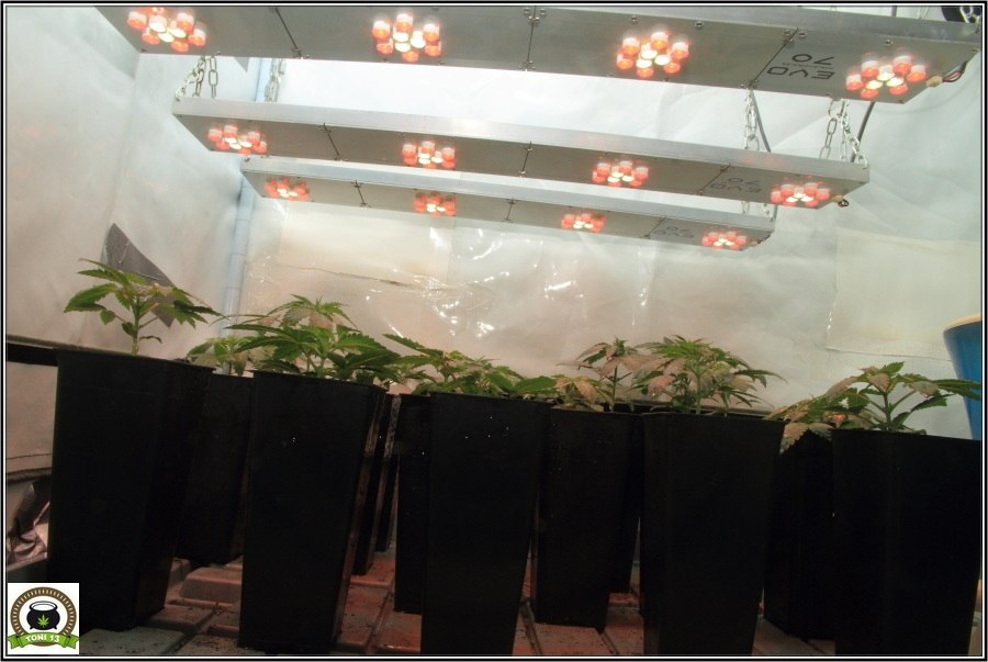 3- Actualización del cultivo de marihuana: De 120W pasan a 180W 2