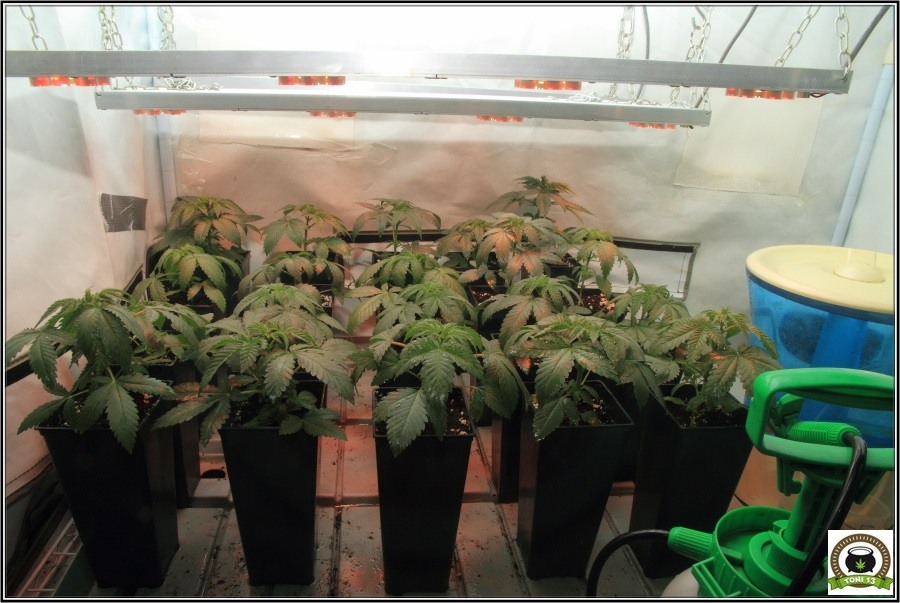 3- Actualización del cultivo de marihuana: De 120W pasan a 180W 3