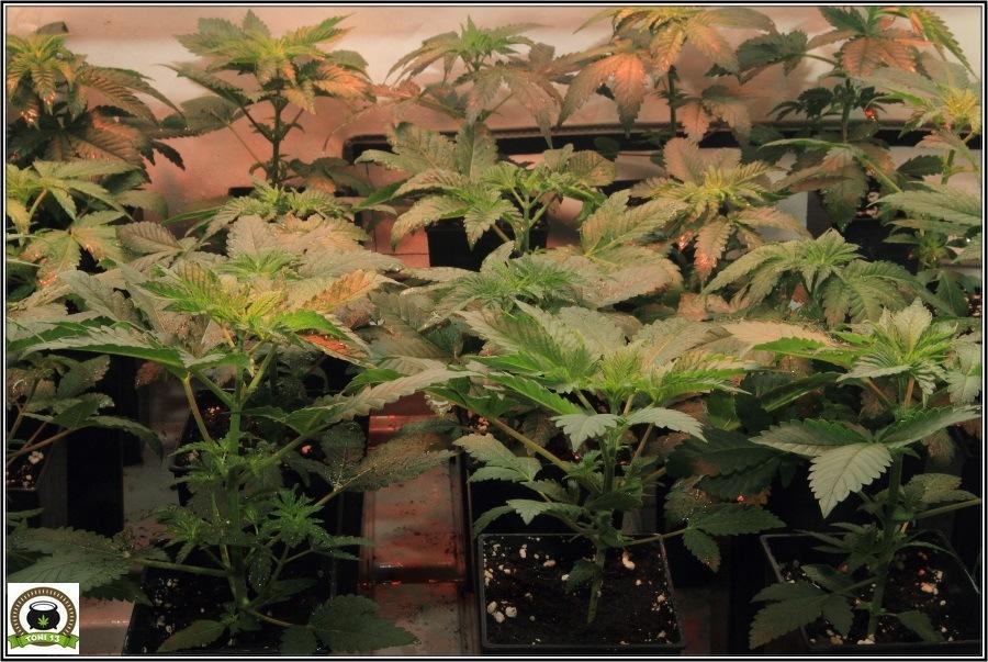 3- Actualización del cultivo de marihuana: De 120W pasan a 180W 5
