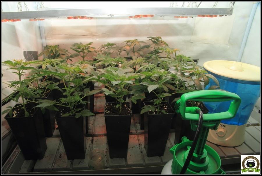 3- Actualización del cultivo de marihuana: De 120W pasan a 180W 4