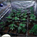 5- Preparativos para el inminente cambio a floración del cultivo (12/12)