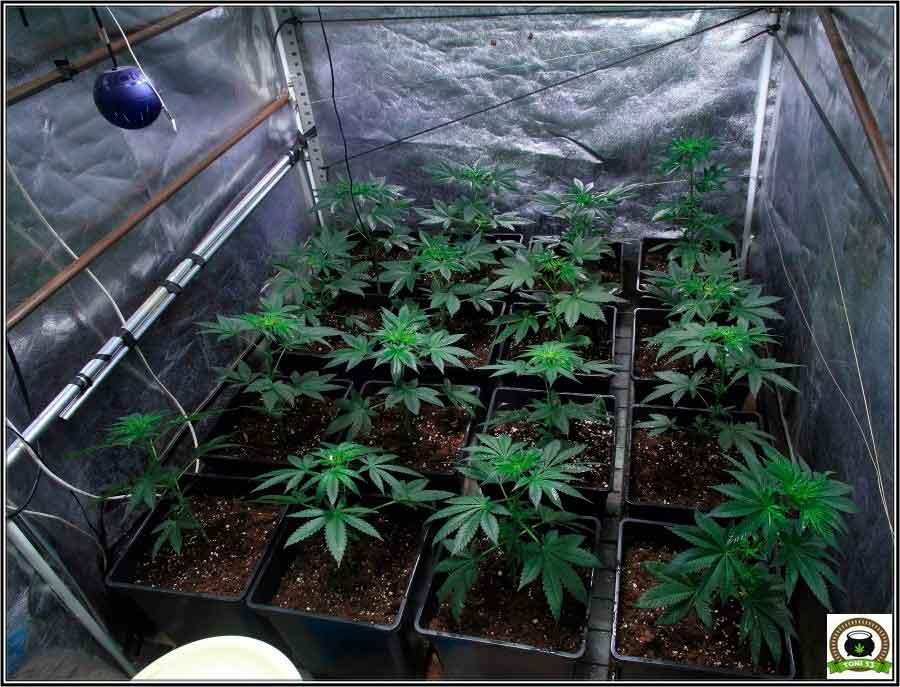 5-Preparativos para el inminente cambio a floración (12/12)-1