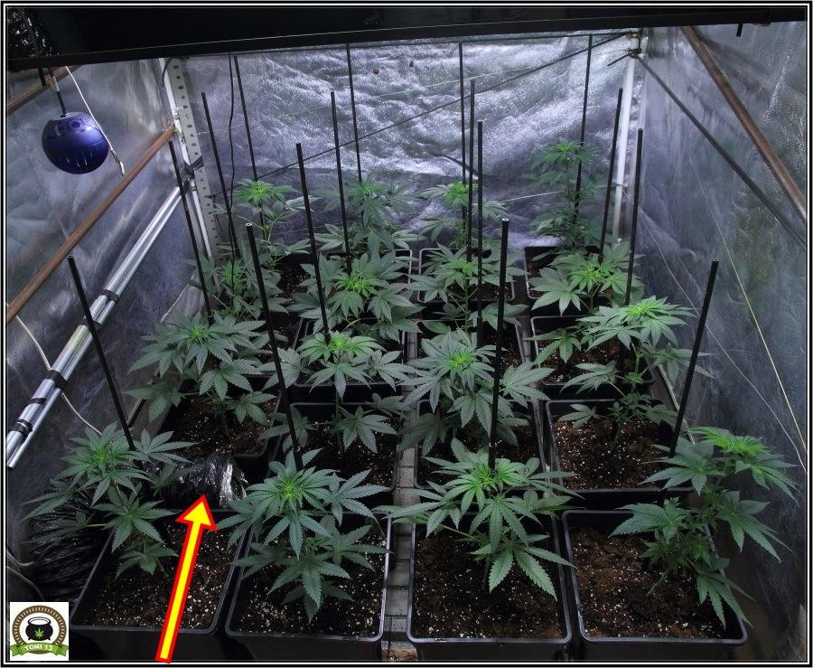 5-Preparativos para el inminente cambio a floración (12/12)-3