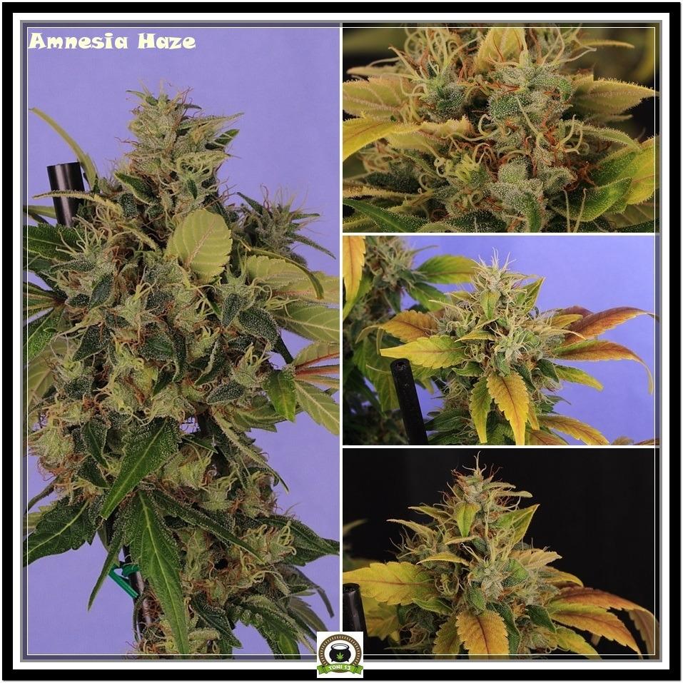amnesia-haze