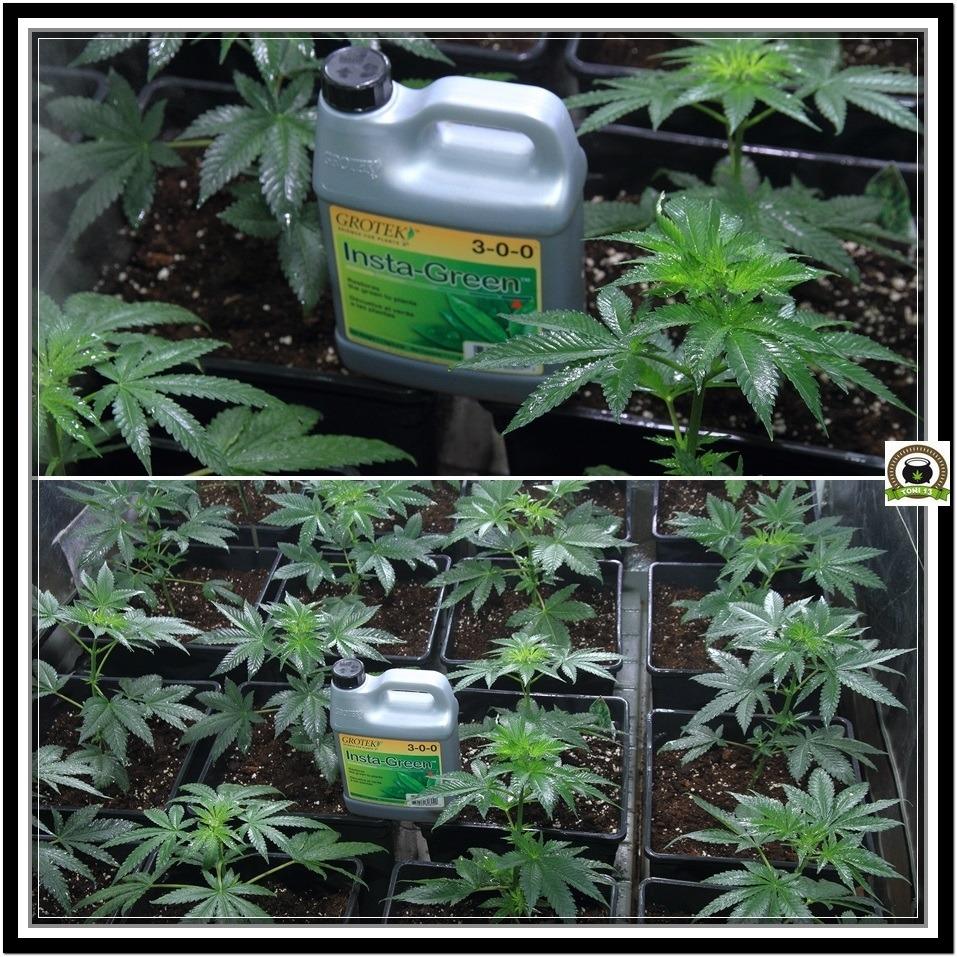 4- Las plantas de marihuana pasan a armario de floracion 3 grotek insta green