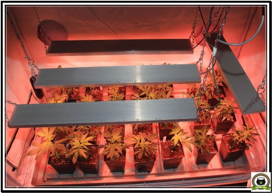 LED con plantas de marihuana en crecimiento 2