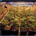 Tutor para plantas de marihuana – Tipos, cómo y cuándo colocarlos