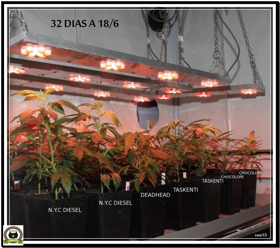 LED con plantas de marihuana en crecimiento