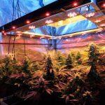 LED (Light Emitting diode) específicos para cultivos de marihuana de interior