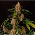 Prevención en cultivo marihuana de interior y exterior – El aliado del éxito