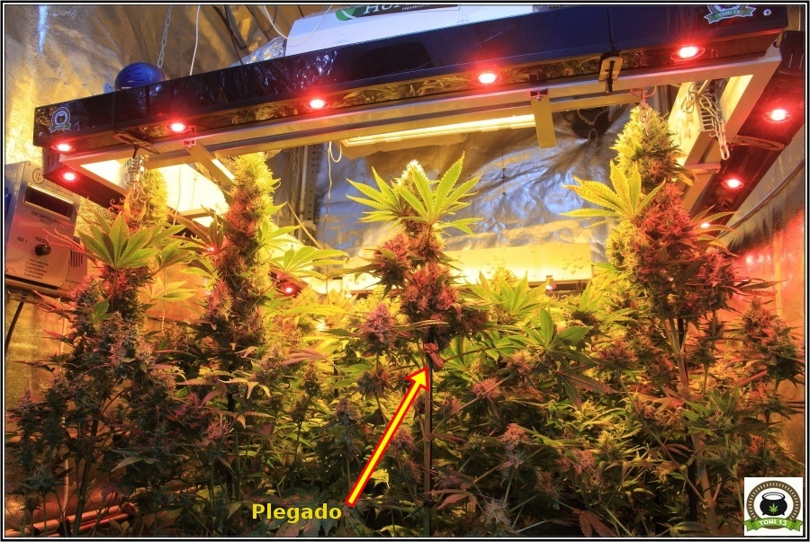 plegado del tallo en cultivos de marihuana, técnica de cultivo 1