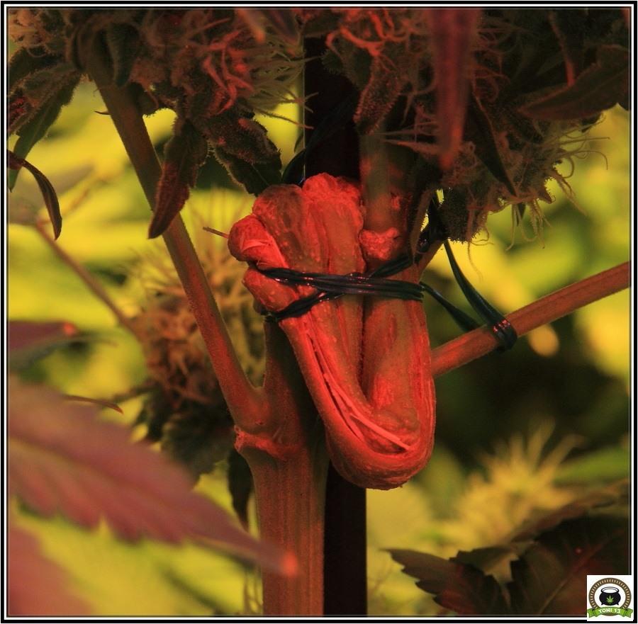 plegado del tallo en cultivos de marihuana, técnica de cultivo 2