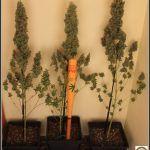 9- Cosechar y limpiar el cultivo de marihuana Super13