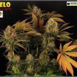2.20- 61 días a 12/12: Variedad de marihuana Hielo, colorido inusual