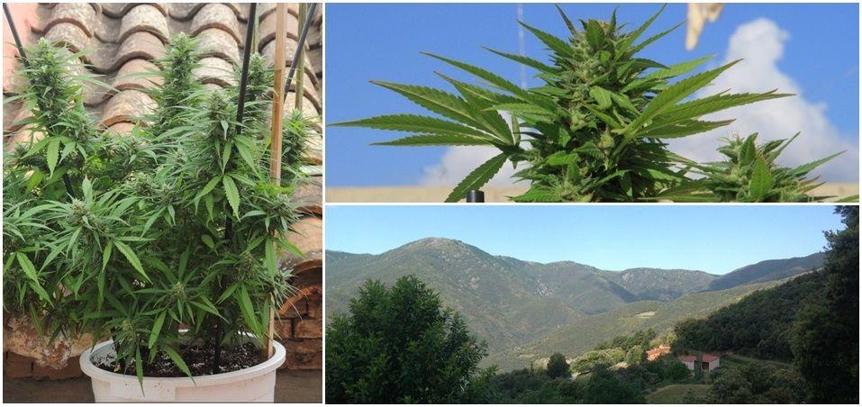 Cómo cultivar marihuana en exterior: Marihuana en terraza, marihuana en balcón, marihuana en tierra. Tipos de cultivo de exterior marihuana.