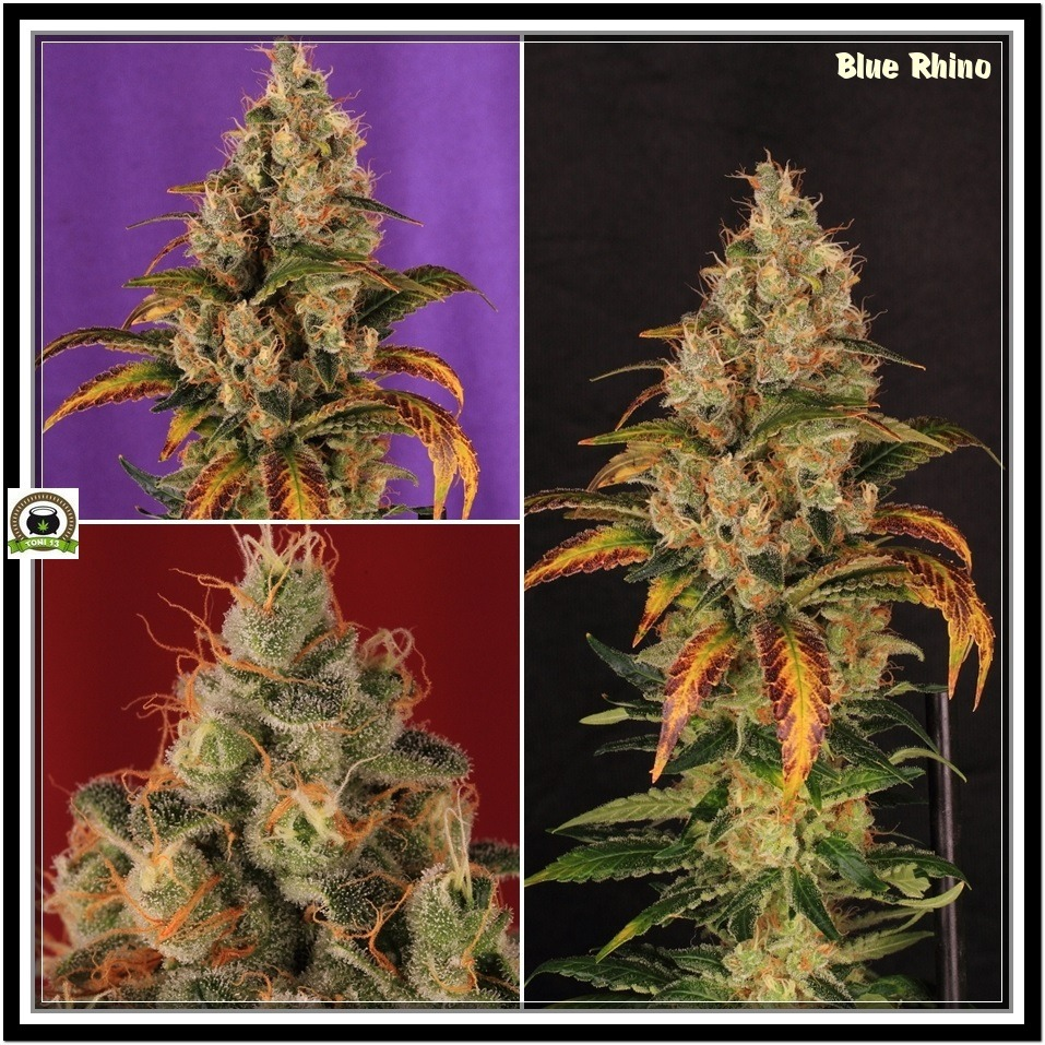 Variedad de marihuana Blue Rhino y Caramelice Positronics 10