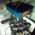 2- 1ª Semana de crecimiento del cultivo de marihuana de interior Mini SCROG