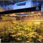 12- Actualización del cultivo de marihuana: Dos semanas a 12/12