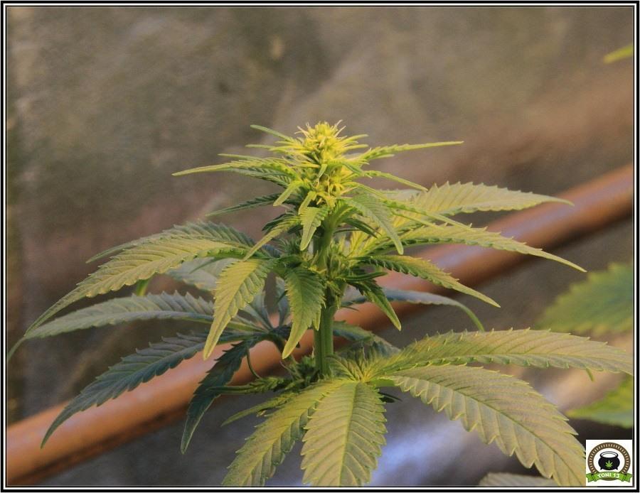 12- Actualización del cultivo de marihuana: Dos semanas a 12/12 4
