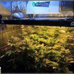 13- Actualización del cultivo de marihuana: Tres semanas a 12/12