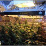 14- Actualización del cultivo de marihuana: Cuatro semanas a 12/12