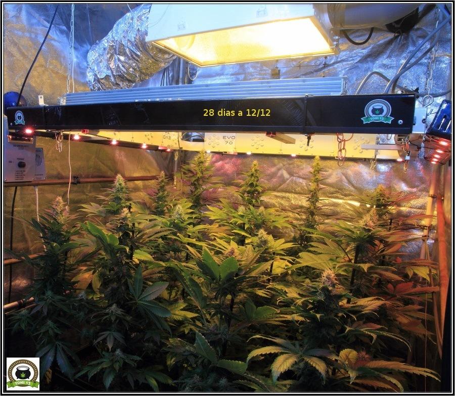 14- Actualización del cultivo de marihuana: Cuatro semanas a 12/12 1