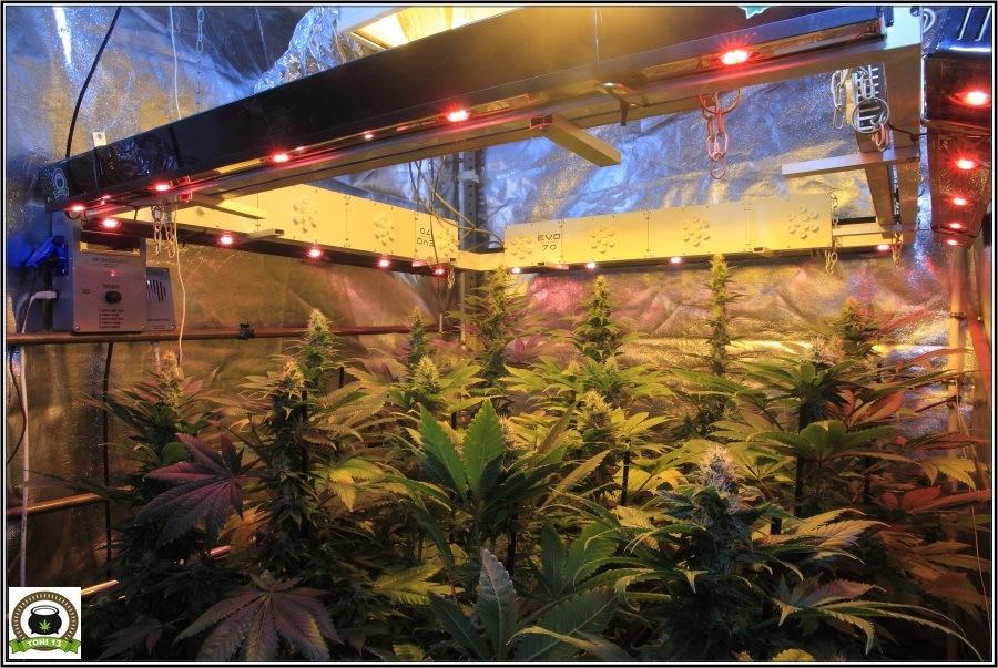 14- Actualización del cultivo de marihuana: Cuatro semanas a 12/12 2