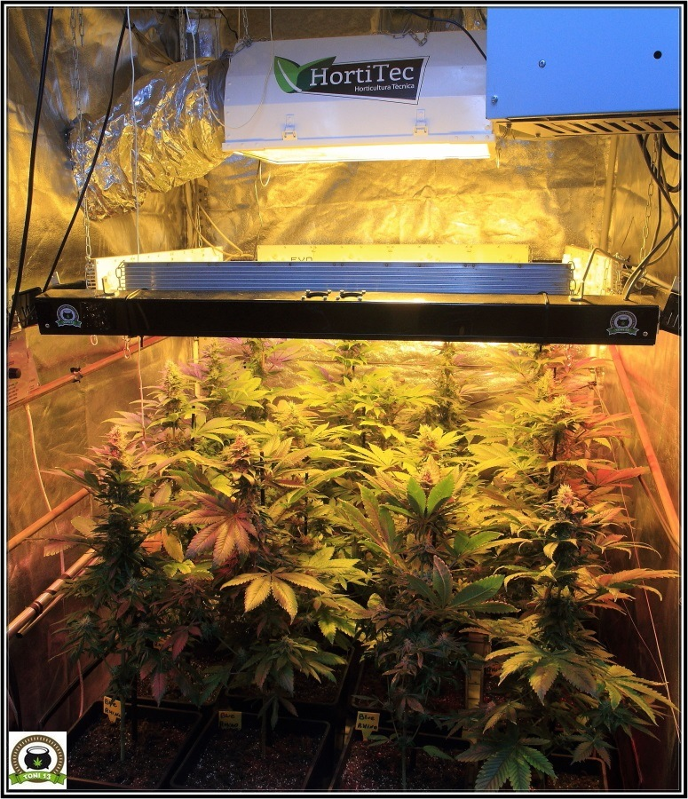 14- Actualización del cultivo de marihuana: Cuatro semanas a 12/12 3