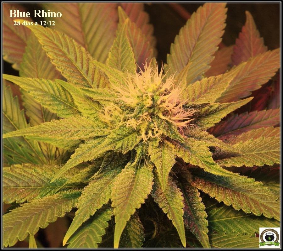 14- Actualización del cultivo de marihuana: Cuatro semanas a 12/12 4