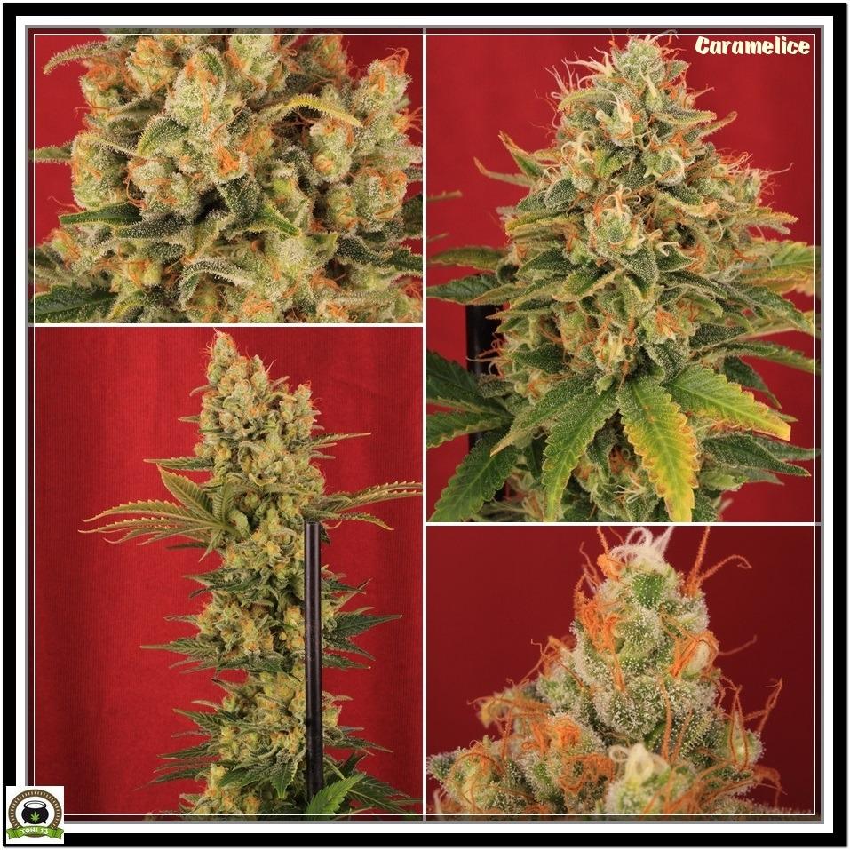 Variedad de marihuana Blue Rhino y Caramelice Positronics 11