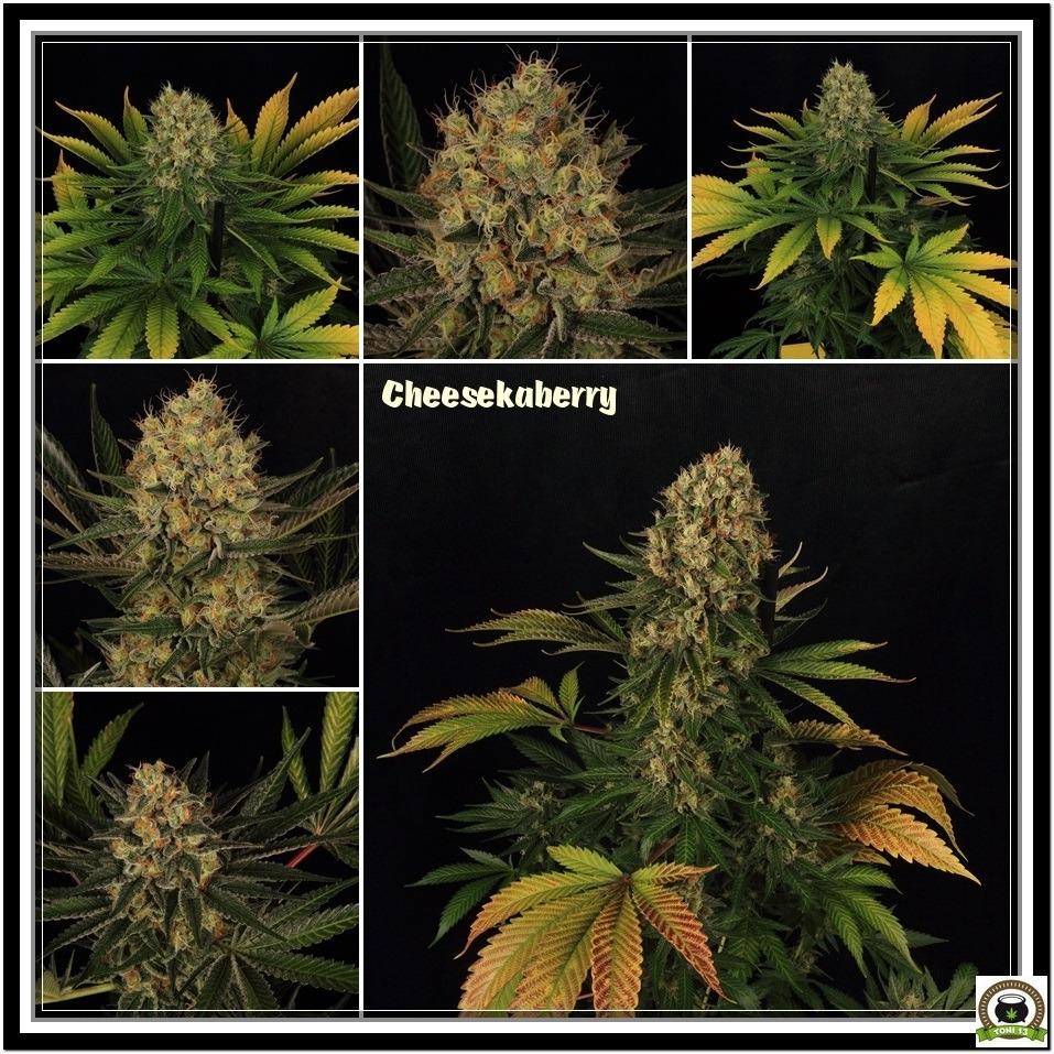 cheesekaberry