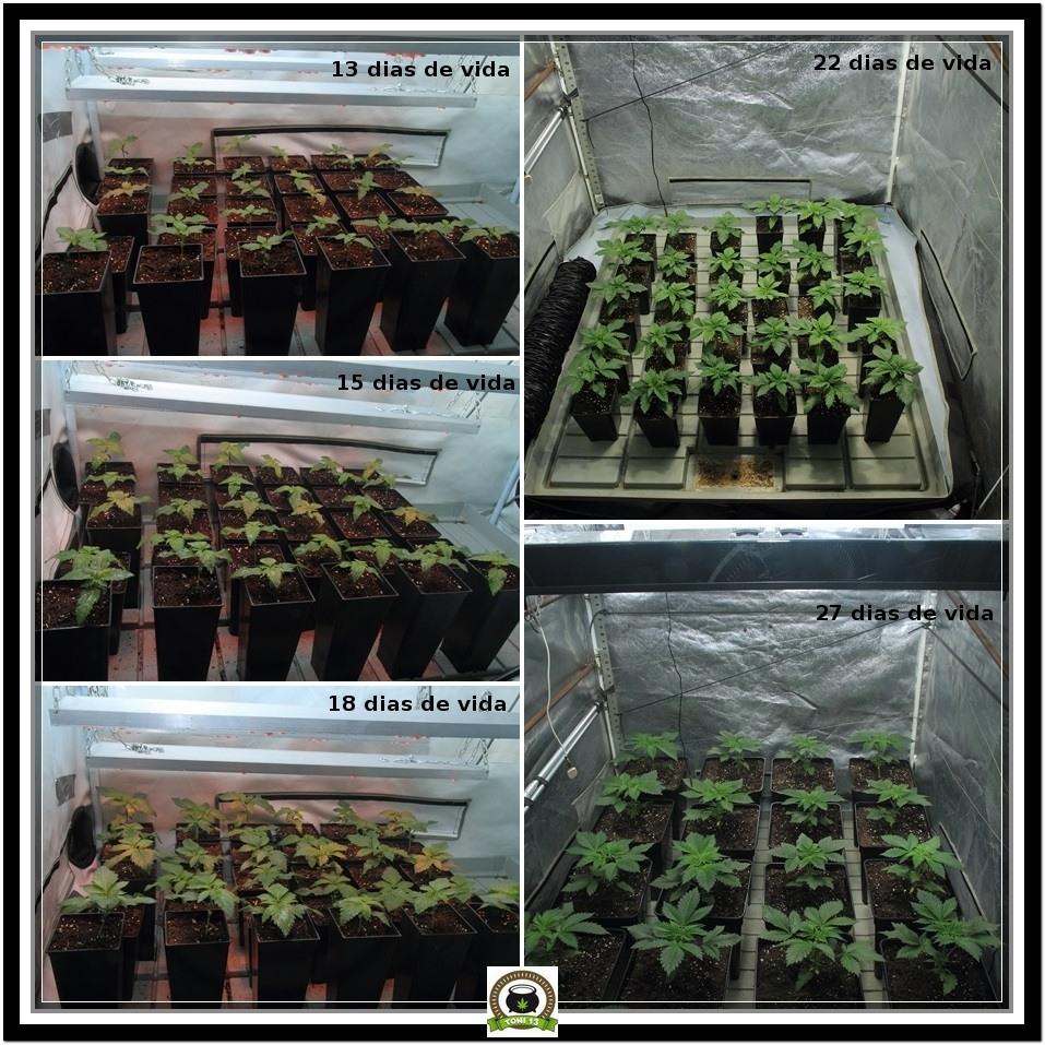 17- Evolución del cruce femicopia de la variedad de marihuana Star-13 3