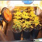 1- Presentación Star-13 Primera semana de floración del cultivo de marihuana