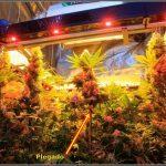 8- Punto de saturación lumínica en un cultivo de interior de marihuana