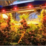 Plegado (tallo) técnica de cultivo en cultivos de marihuana ¿Para qué sirve?