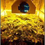 2- Star-13 segunda semana de floración del cultivo de marihuana