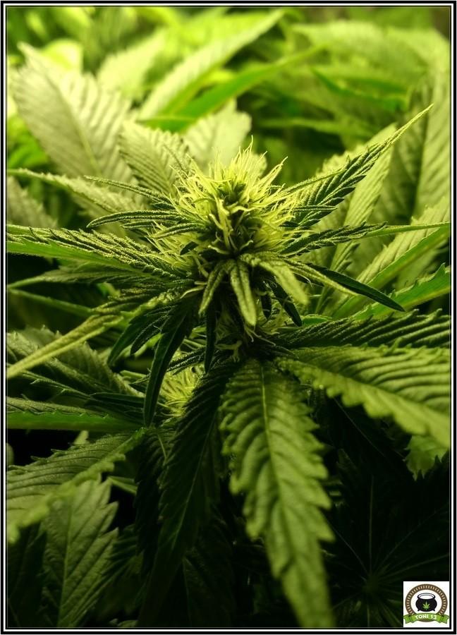 Star13 de camino a las flores de marihuana 1